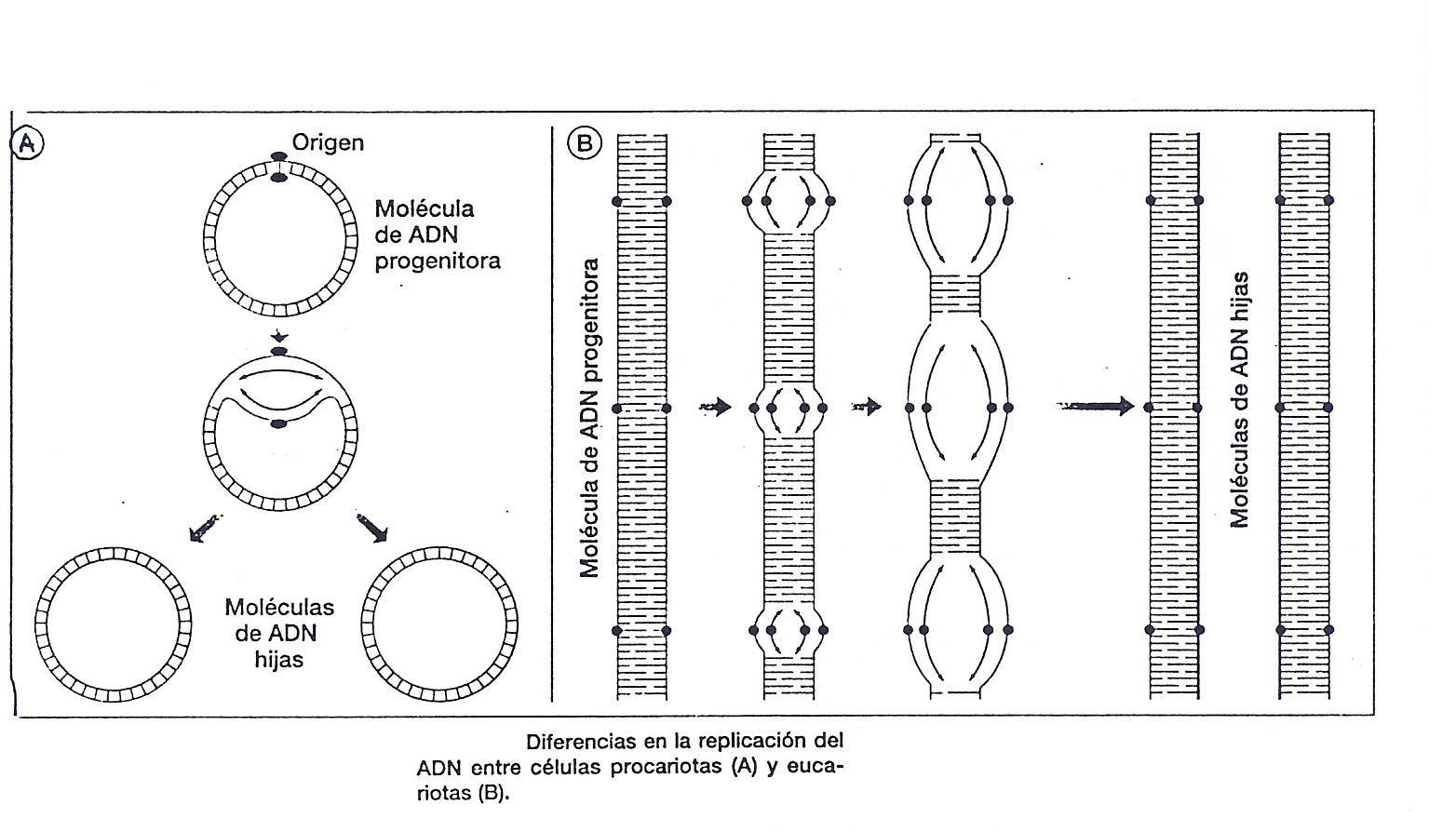Tema 14 El Adn Portador De La Información Genética