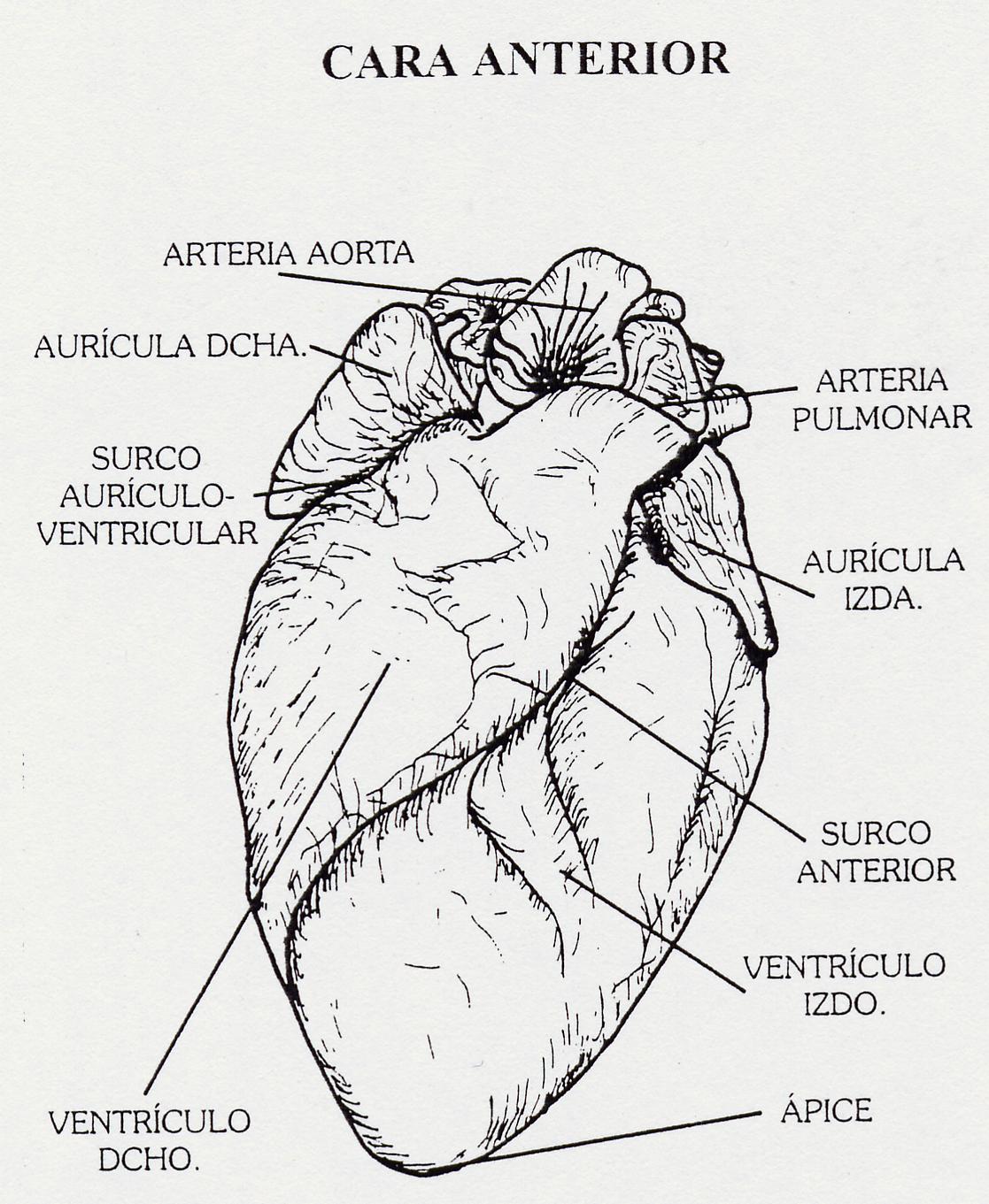 Famoso Anatomía De Un Corazón De Oveja Ilustración - Imágenes de ...